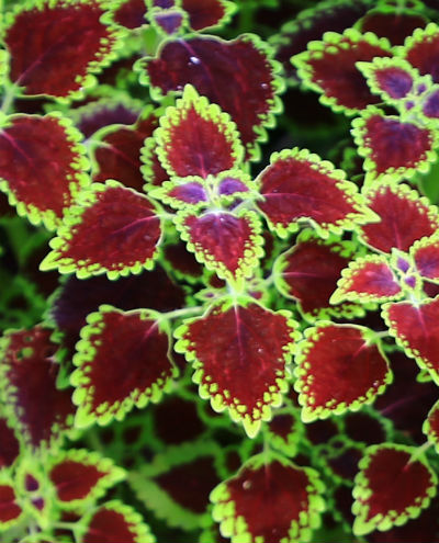 Grøn og rød farve på Paletblad