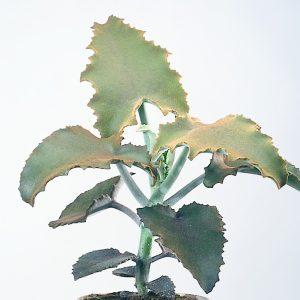 Kalanchoë planter