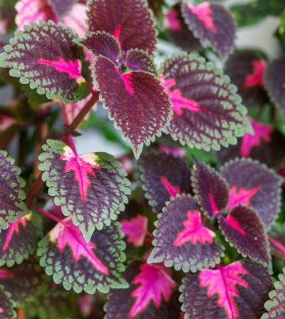 Pink og lilla Paletblad
