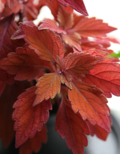 Rød paletblad
