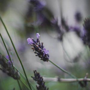 Lavendel er en spiselig blomst