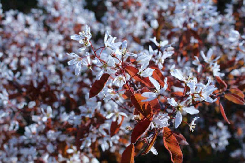 Busk med hvide blomster - Bærmispel