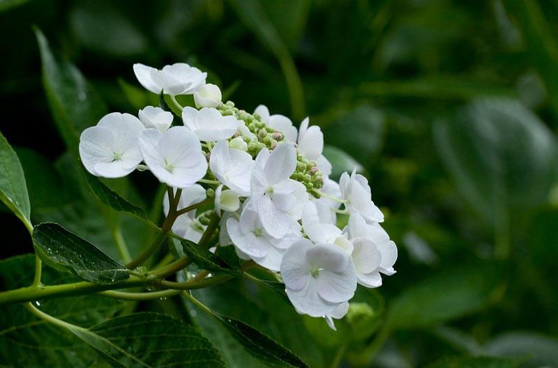 Hvid hortensia