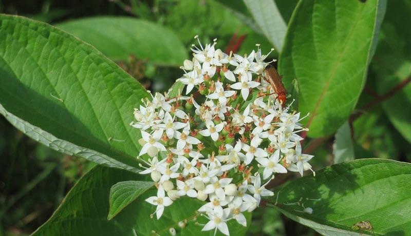 Hvid kornel