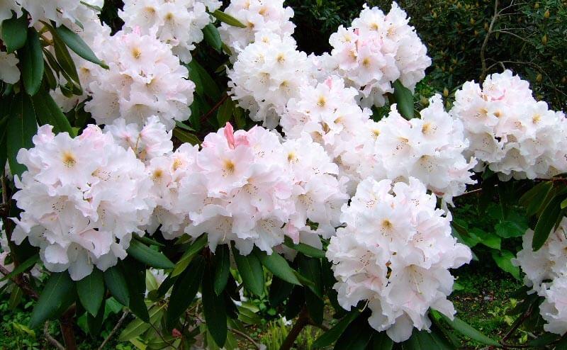 Hvid Rhododendron busk