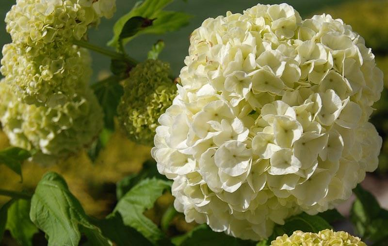 Busk med hvide blomster: Snebolle