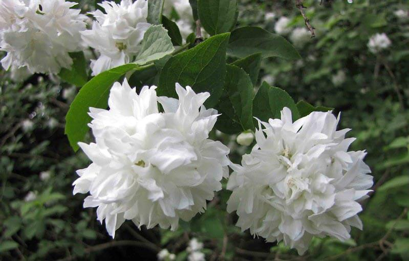 Busk med hvide blomster: Uægte jasmin
