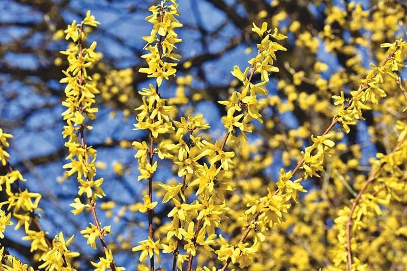 Forsythia er en gul busk