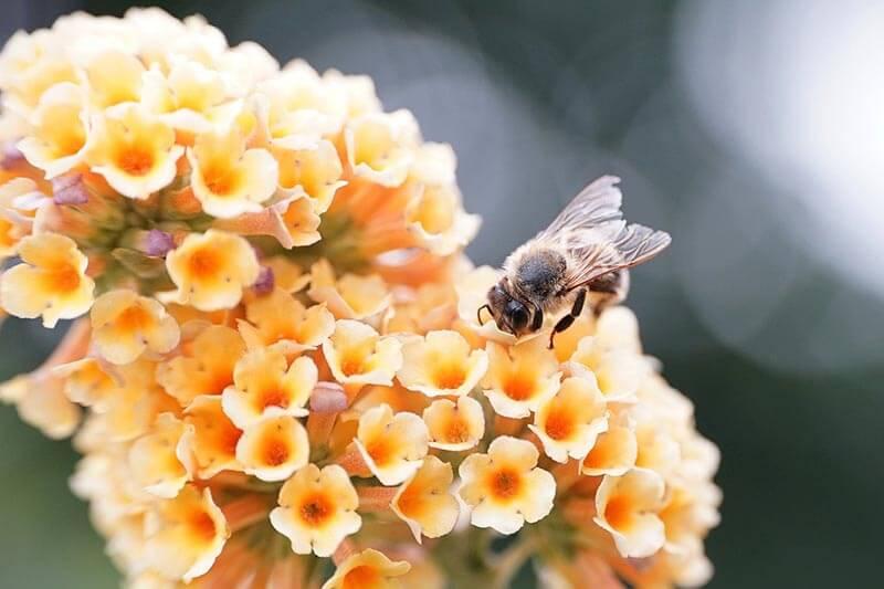 Gul sommerfuglebusk