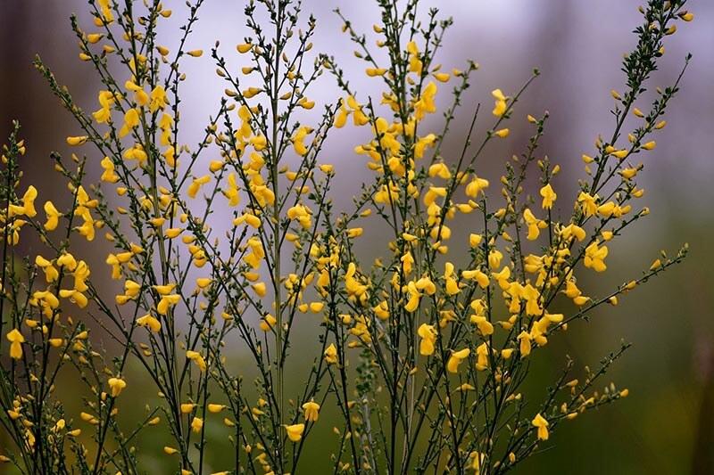 Gyvel er en gul busk
