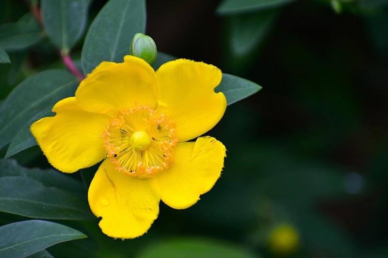 Perikon er en gul busk