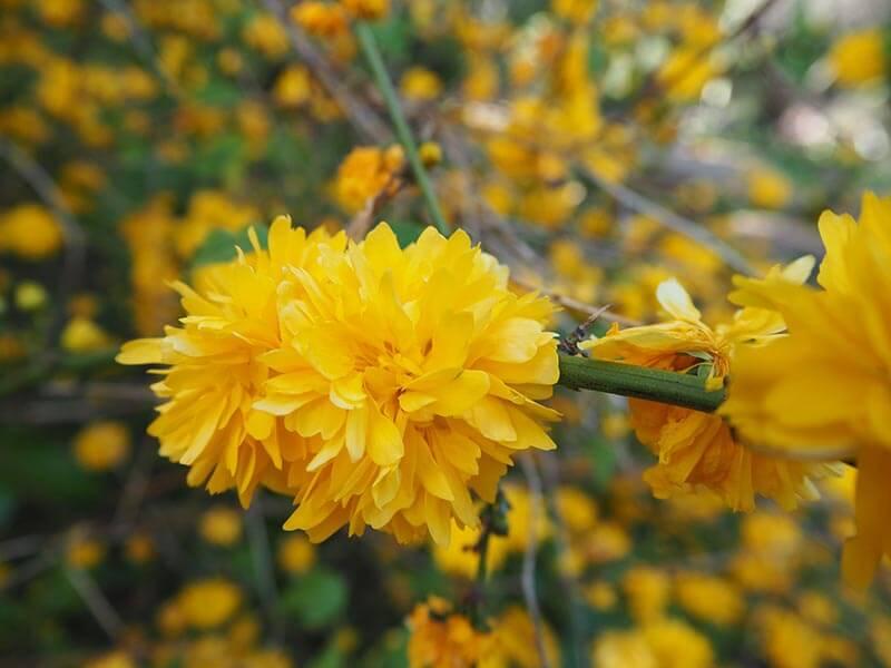 Ranunkelbusk er gul